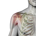 Bones Of The Shoulder by Science Picture Co