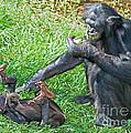 Bonobo Adult And Baby by Millard H. Sharp