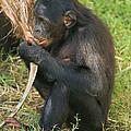 Bonobo by Millard H. Sharp