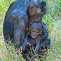 Bonobo Mother And Baby by Millard H. Sharp