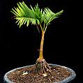 Bonsai Palm Tree by Antoni Halim