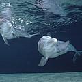 Bottlenose Dolphin  Pair Hawaii by Flip Nicklin
