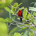 Brazilian Tanager Ramphocelus Bresilius by Leonardo Mer�on