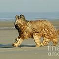 Briard Dog by Jean-Michel Labat