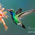Broad-billed Hummingbird At Ocotillo by Anthony Mercieca