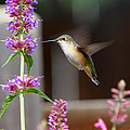 Broad-tailed Hummingbird by Allen Lang