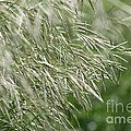 Brome Grass In The Hay Field by J McCombie