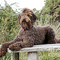 Brown Labradoodle by John Daniels
