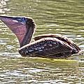 Brown Pelican by Betsy Knapp