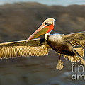 Brown Pelican In Flight by Anthony Mercieca