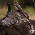 Buffalo And Oxpecker by Mareko Marciniak