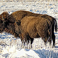 Buffalo In Winter by Alan Hutchins