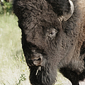 Buffalo Painterly by Ernie Echols