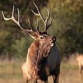 Bugling Bull Elk by Bruce J Robinson