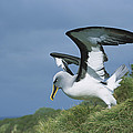 Bullers Albatross With Colorful Bill by Tui De Roy
