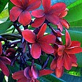 Burgundy Plumeria by James Temple