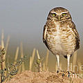 Burrowing Owl by Bryan Keil
