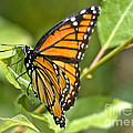 Busy Butterfly by Cheryl Baxter