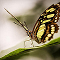 Butterfly by Diane Dugas