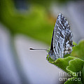Butterfly by Giovanni Chianese
