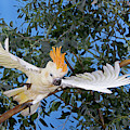 Cacatoes A Huppe Orange Cacatua by Gerard Lacz