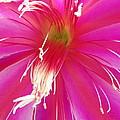 Cactus Flower by Jacklyn Duryea Fraizer