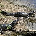 Caiman by Carol Ailles