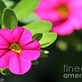 Calibrachoa Named Colorburst Rose by J McCombie
