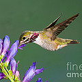 Calliope Hummingbird Stellula Calliope by Anthony Mercieca