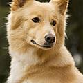 Canaan Dog by Jean-Michel Labat