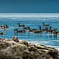 Canadian Geese by Joseph Amaral