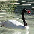 Canadian Swan by John Telfer
