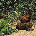 Capybara by Carol Ailles