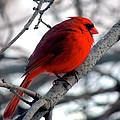 Cardinal by Emily Rahman
