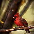 Cardinal Pose by Karol Livote