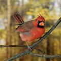 Cardinal Rouge Cardinalis Cardinalis by Gerard Lacz