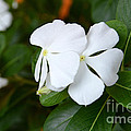 Catharanthus Roseus by Antoni Halim