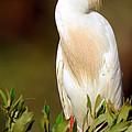 Cattle Egret Adult In Breeding Plumage by Millard H. Sharp