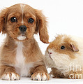 Cavalier King Charles Spaniel Pup by Mark Taylor