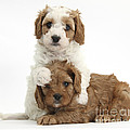 Cavapoo Puppies Hugging by Mark Taylor