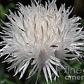 Centaurea Named The Bride by J McCombie