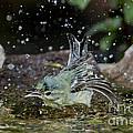 Cerulean Warbler by Anthony Mercieca
