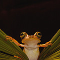 Chachi Tree Frog  Ecuador by Pete Oxford