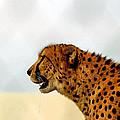 Cheetah by James Stough