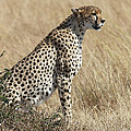 Cheetah Searching For Prey by Carole-Anne Fooks