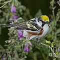 Chestnut-sided Warbler by Anthony Mercieca