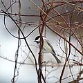 Chickadee On Woodvine by Thomas Phillips
