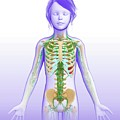 Child's Lymphatic System by Pixologicstudio/science Photo Library