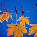 Close-up Of Fall Colored Maple Leaves by Kevin Smith