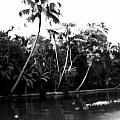 Coconut Trees And Other Plants In A Creek by Ashish Agarwal